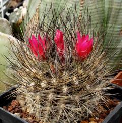 Eriosyce villosa