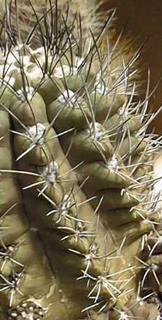 Eriosyce jussieui (=Neochilenia curvispina)
