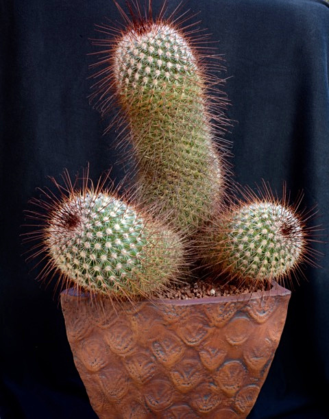 SCCSS 2018 January - Winner Intermediate Cactus - Bernard Johnson - Mammillaria duoformis