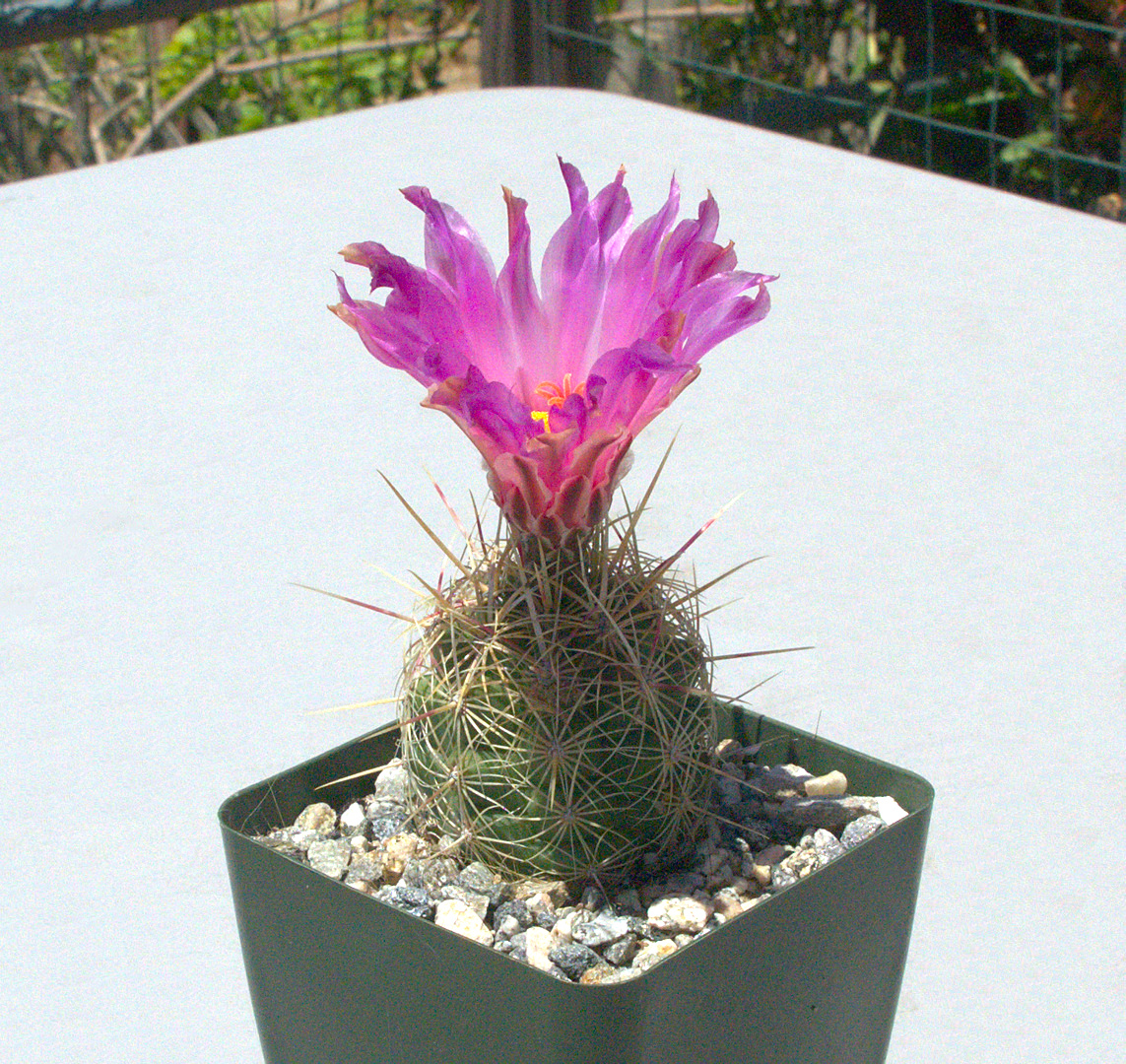 Thelocactus bicolor var. parras