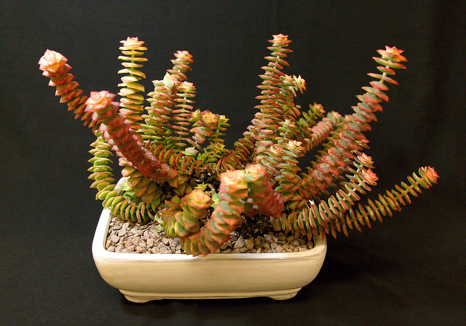 SCCSS 2018 February - Winner Novice Succulent - Terri Straub - Crassula perforata