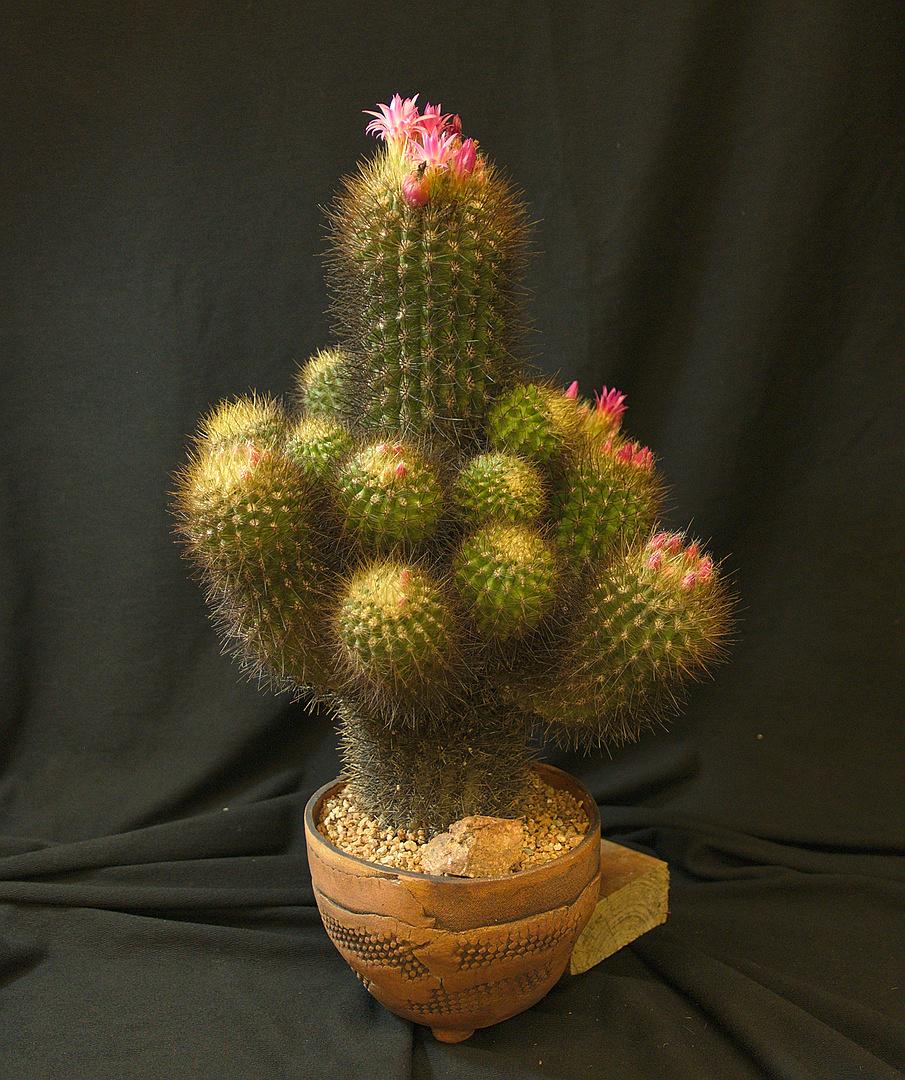 SCCSS 2018 February - Winner Open Cactus - Gary Duke - Neoporteria castaneoides