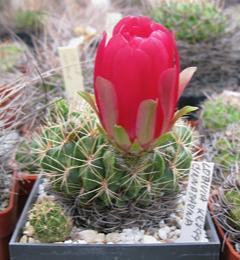 Echinopsis cinnabarina (=Lobivia)