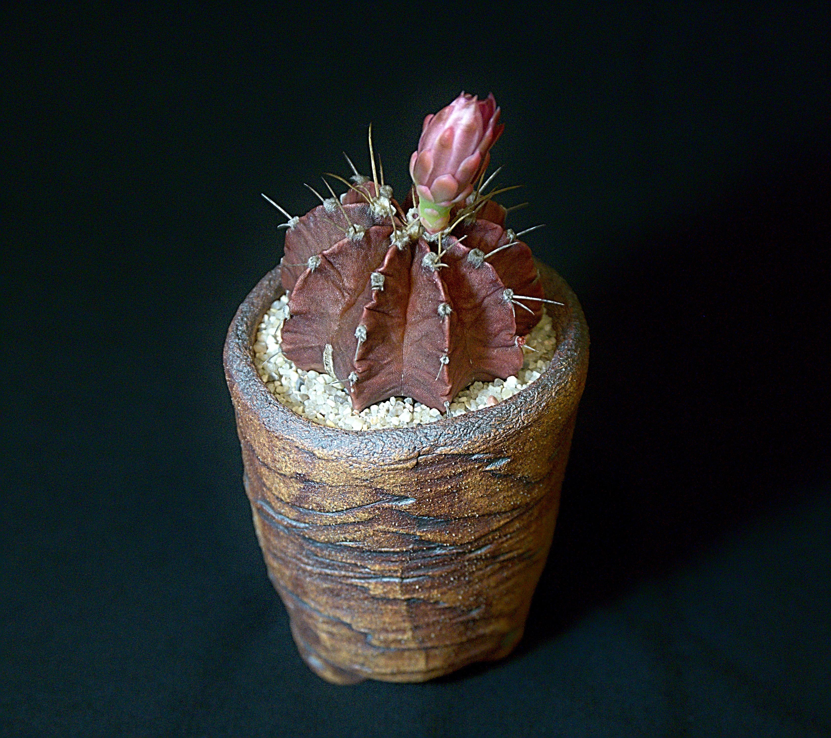 SCCSS 2018 June - Winner Intermediate Cactus - Sally Fasteau - Gymnocalycium stenopleurum