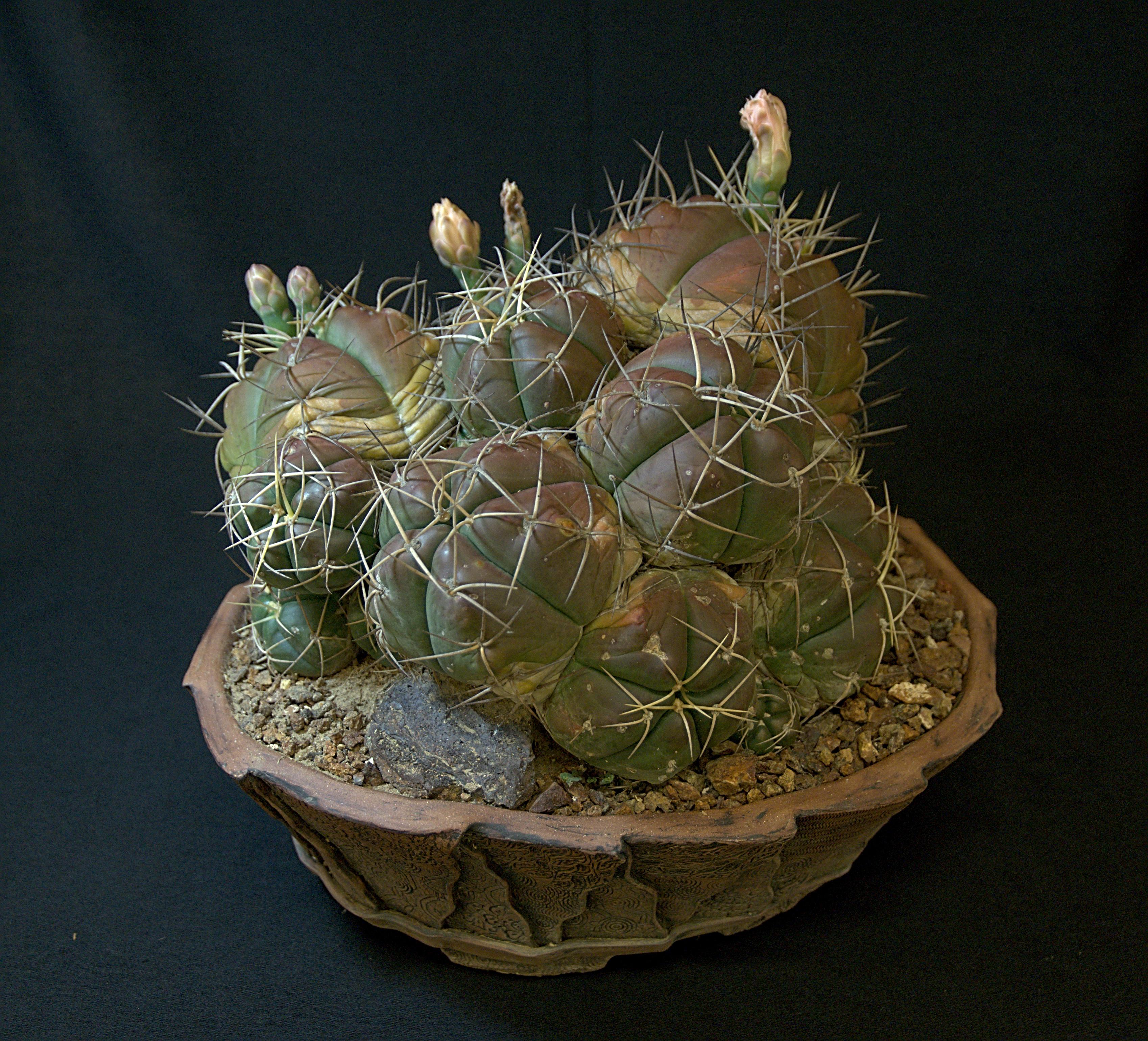 SCCSS 2018 June - Winner Open Cactus - Gary Duke - Gymnocalycium horstii