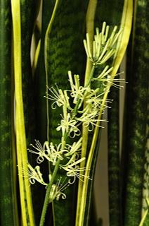 Sansevieria trifasciata flower
