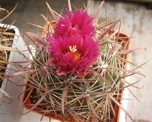 Ferocactus fordii