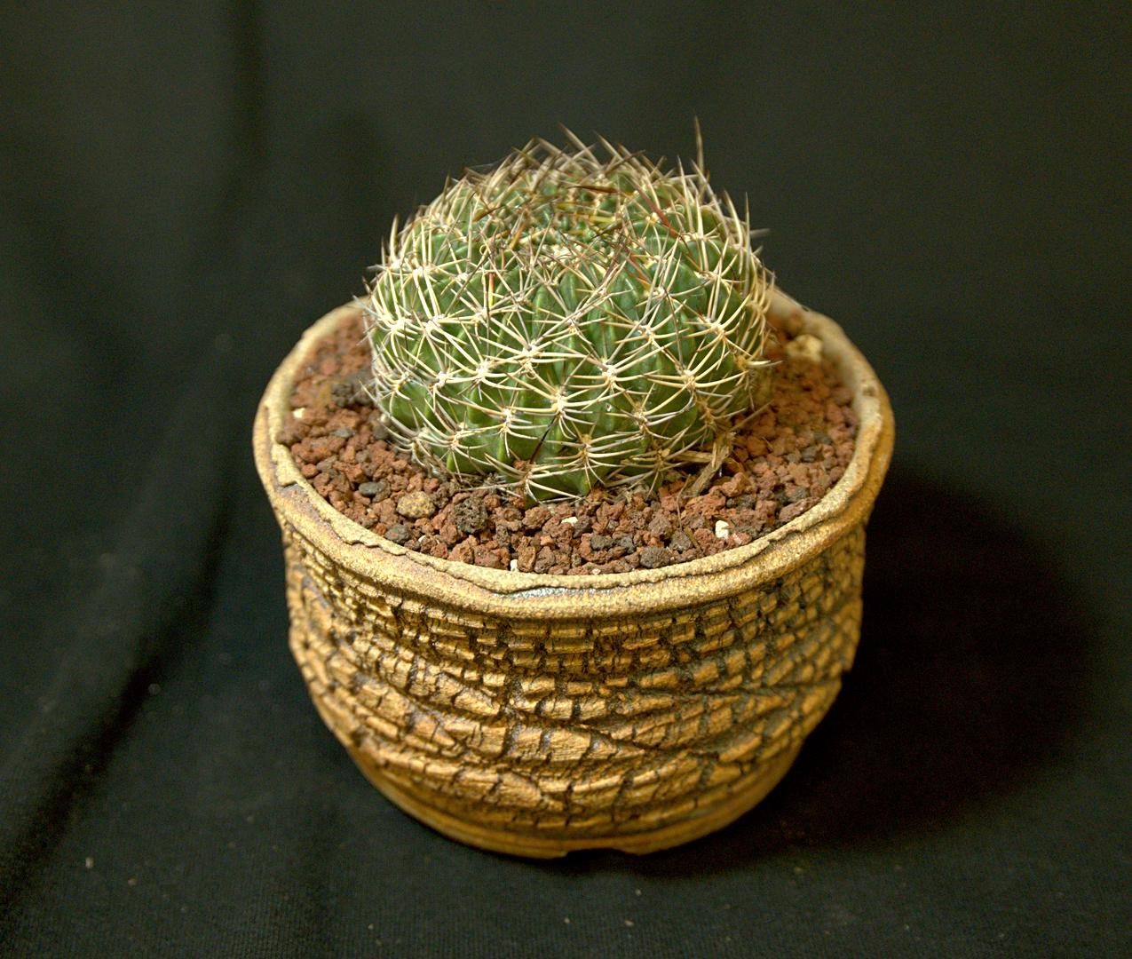 SCCSS 2018 July - Winner Novice Cactus - Coni Nettles - Lobivia acanthoplegma