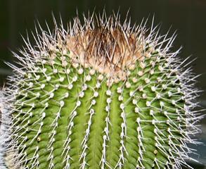 Uebelmannia gummifera