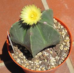 Astrophytum myriostigma var. nudum