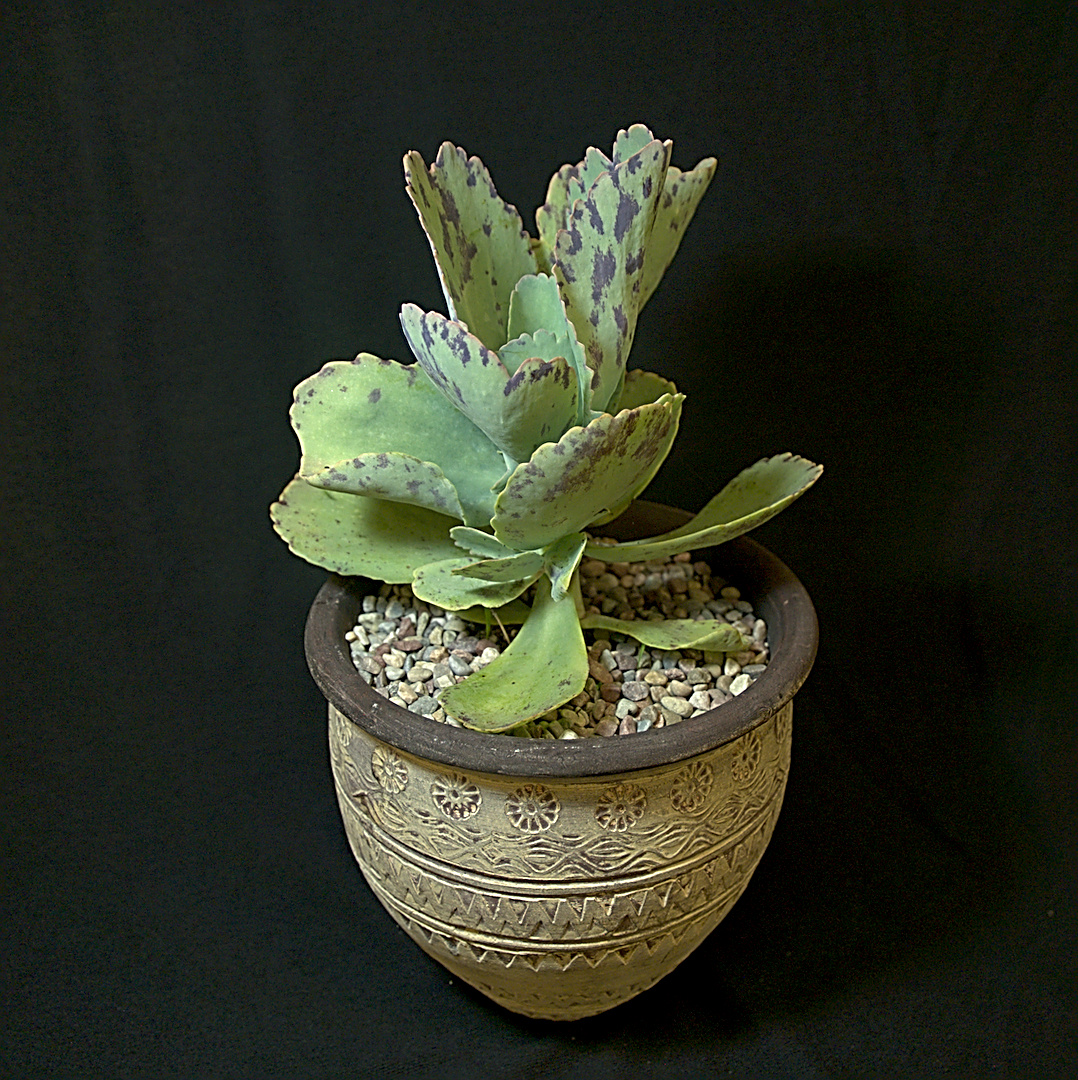 SCCSS 2018 September - Winner Intermediate Succulent - Mike Short - Kalanchoe marmorata