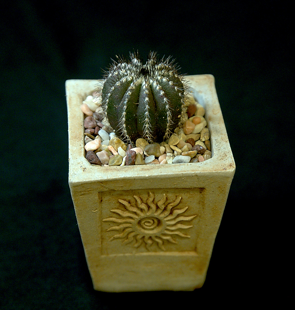SCCSS 2018 September - Winner Novice Cactus - Connie Nettles - Uebelmannia pectinifera