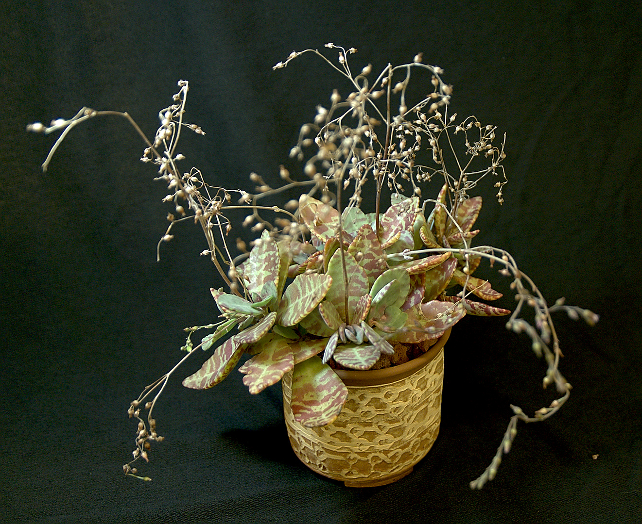 SCCSS 2018 September - Winner Novice Succulent - Connie Nettles - Kalanchoe humilis