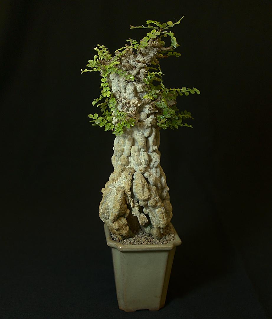 SCCSS 2018 October - Winner Open Succulent - Jim Hanna - Operculicarya decaryi