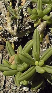 Senecio bulbinefolius