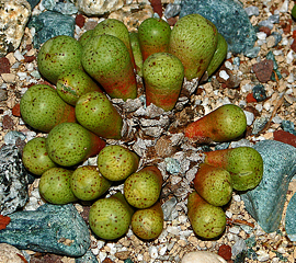Conophytum jucundum