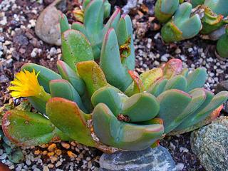 Conophytum meyeri