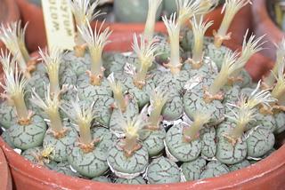 Conophytum minimum in flower