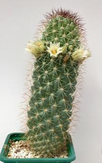 Mammillaria armillata