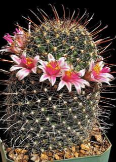 Mammillaria mainiae