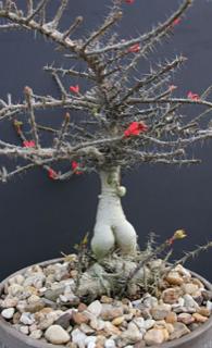 Euphorbia pedilanthoides