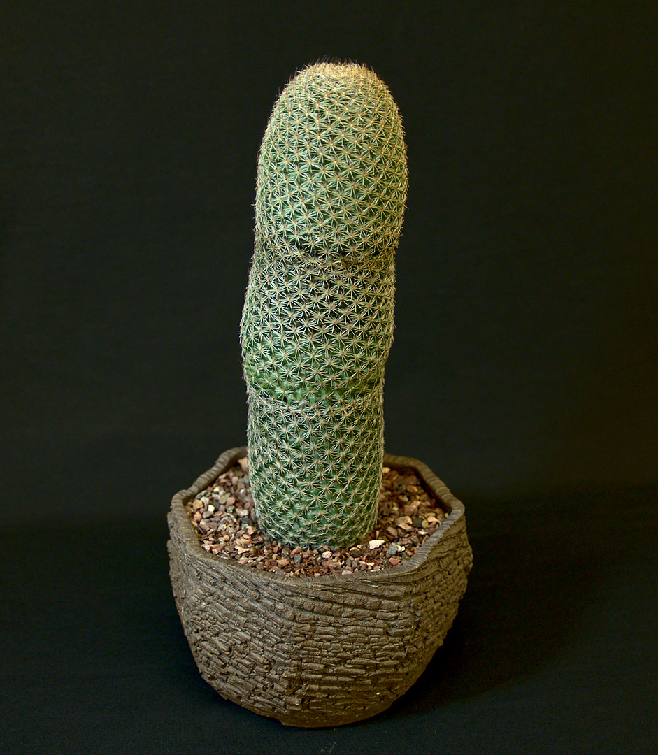 SCCSS 2019 January - Winner Open Cactus - William Wilk - Mammillaria matudae