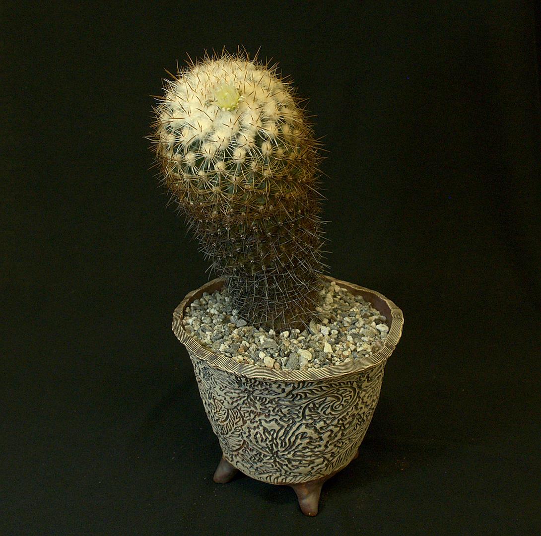 SCCSS 2019 February - Winner Open Cactus - Gary Duke - Echinofossulocactus ochoterenanus