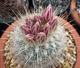 Thelocactus macdowellii
