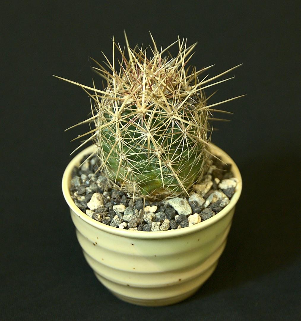 SCCSS 2019 March - Winner Novice Cactus - Terri Straub - Thelocactus bicolor