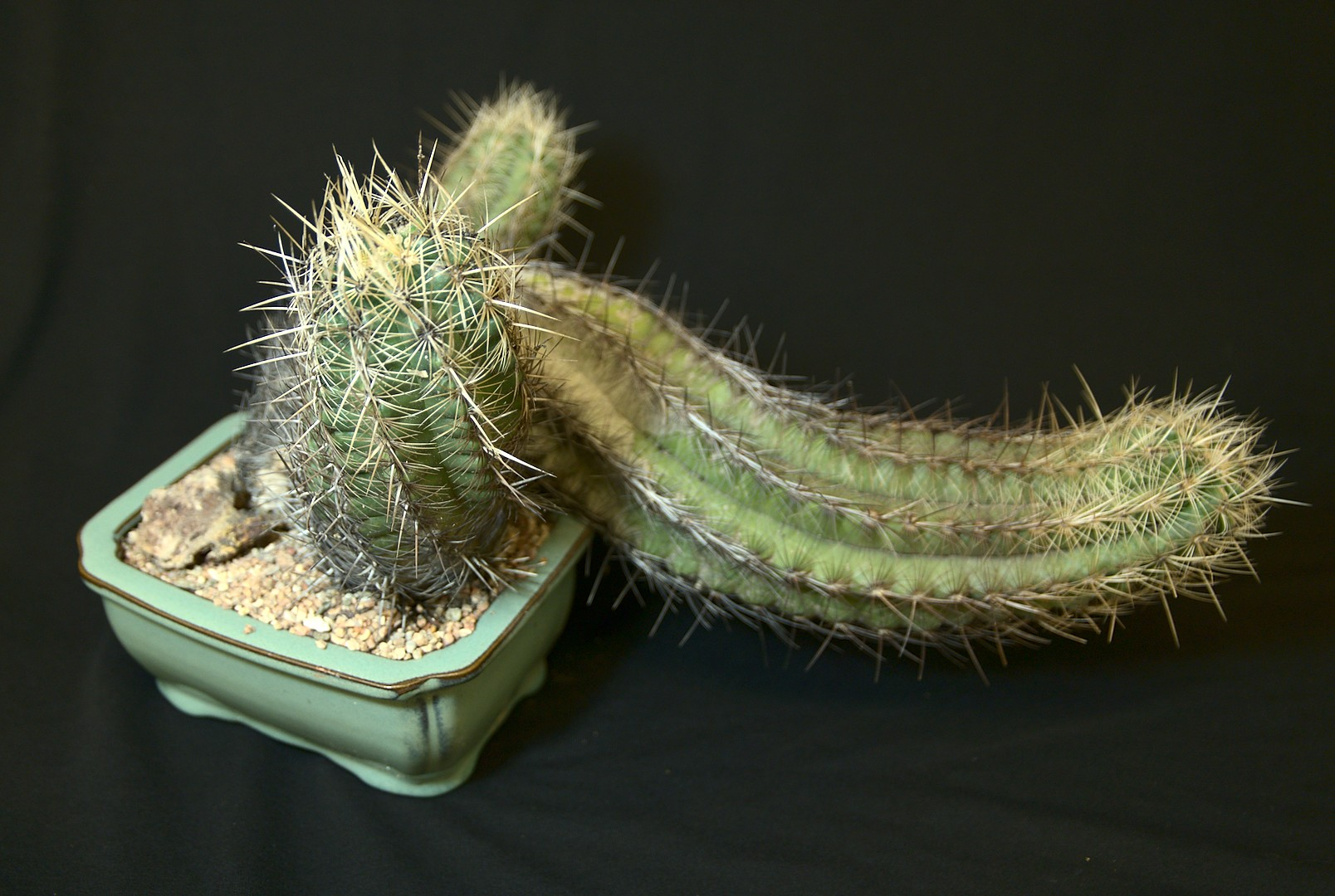 SCCSS 2019 March - Winner Open Cactus - Gary Duke - Thelocactus bicolor var. kolunsis