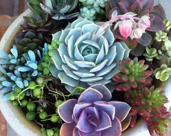 Succulent Dish Garden 6