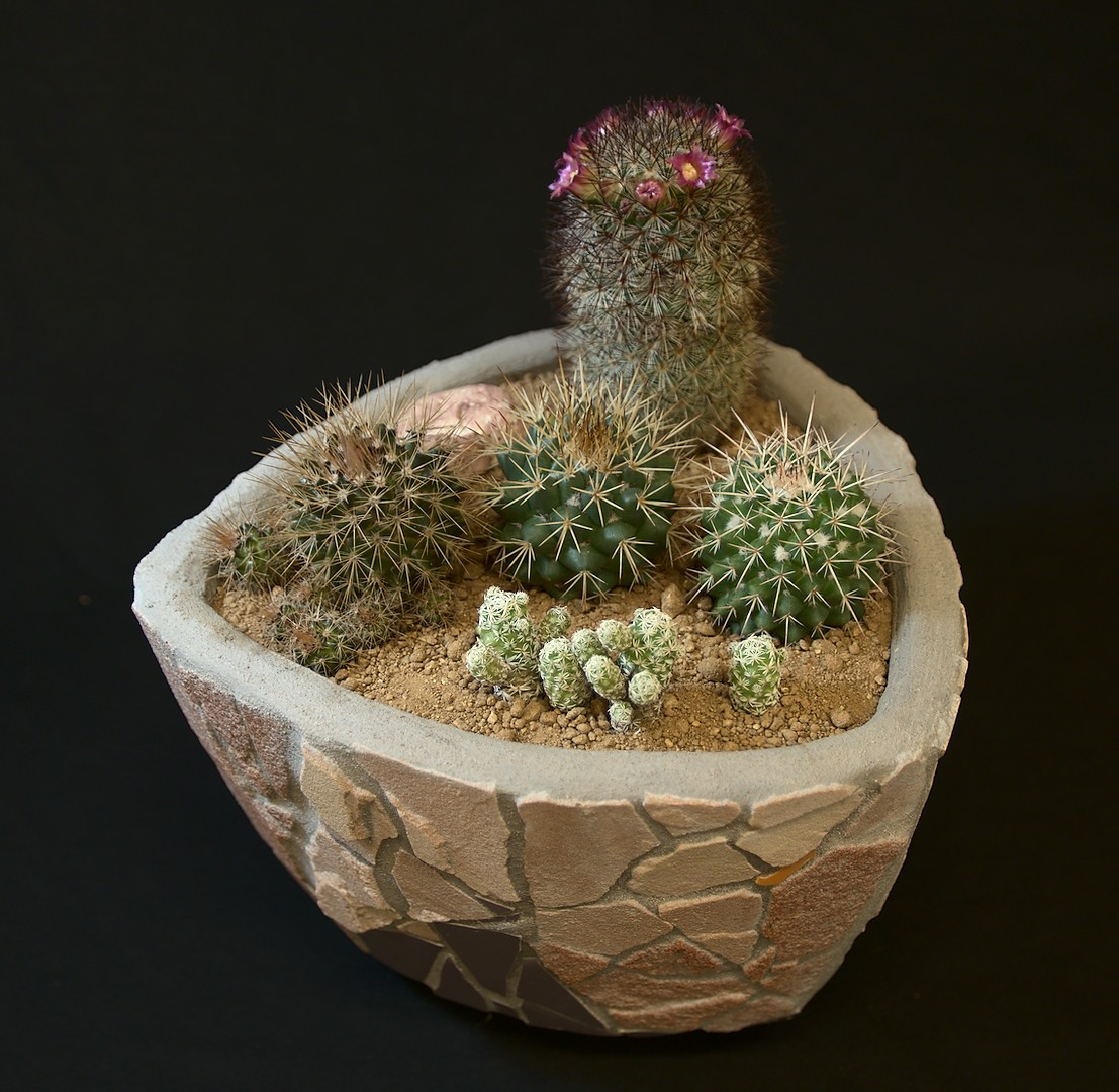 SCCSS 2019 May - Winner Novice Cactus - Terri Straub