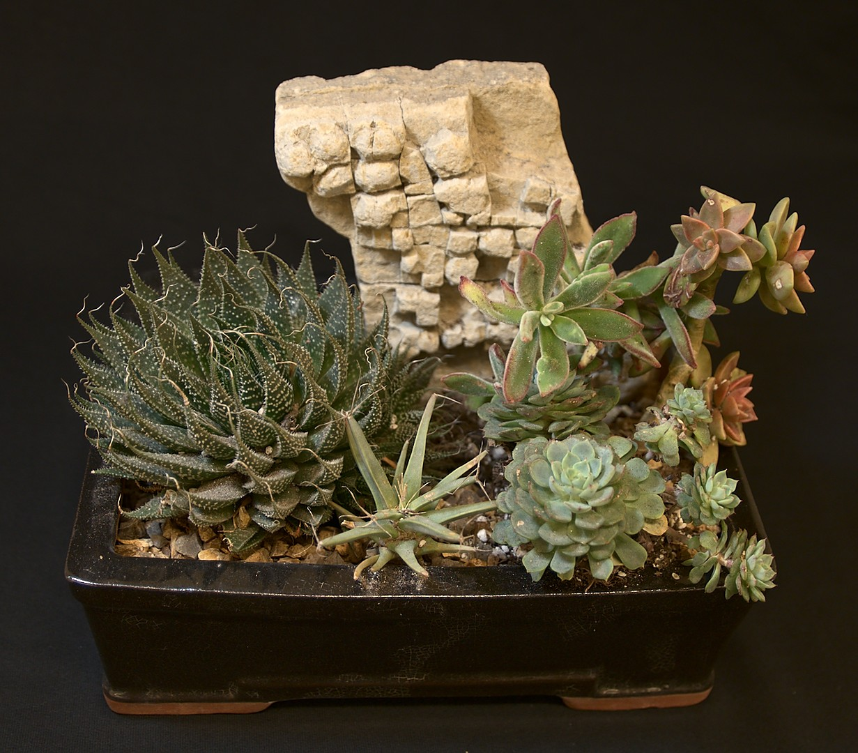 "SCCSS 2019 May - Winner Novice Succulent - Diane Cottrell - ""Wailing Wall"""