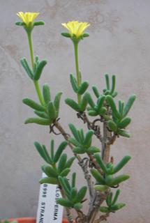Delosperma crassum