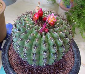Oroya peruviana