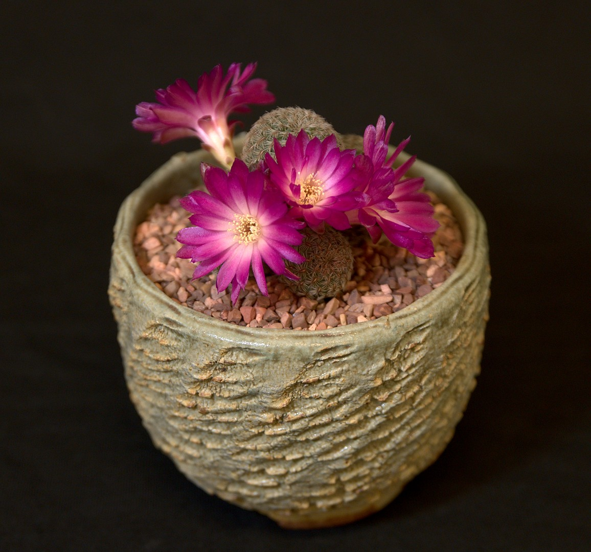 SCCSS 2019 June - Winner Intermediate Cactus - Sally Fasteau - Sulcorebutia steinbachii