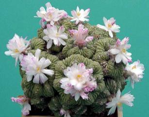 Aztekium ritteri in flower
