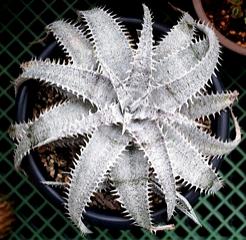 Dyckia marnier-lapostollei