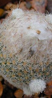 Epithelantha micromeris ssp. polycephala