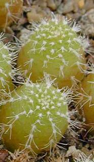 Frailea phaeodisca