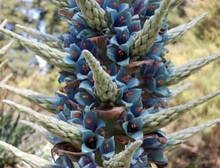 Puya alpestris in flower