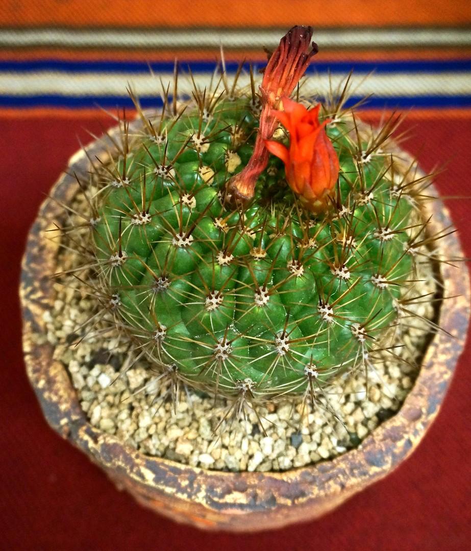 SCCSS 2019 July - Winner Open Cactus - Gary Duke - Matucana celendinensis