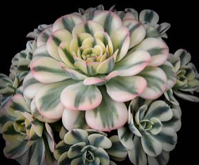 Echeveria imbricata variegata