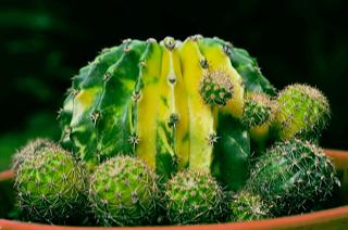 Echinopsis Variegated