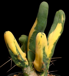 Echinopsis lageniformis monstruosa variegata