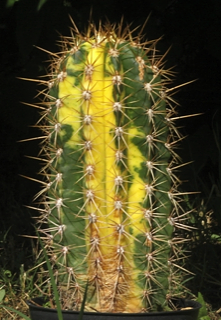 Echinopsis terscheckii variegata