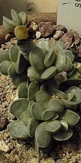 Adromischus kitchingii