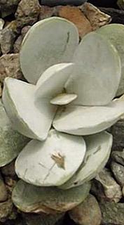 Adromischus leucophyllus