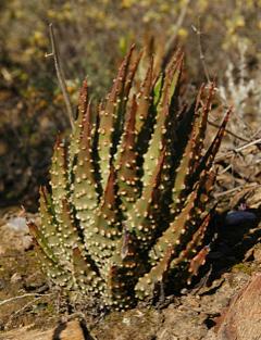Haworthia maxima