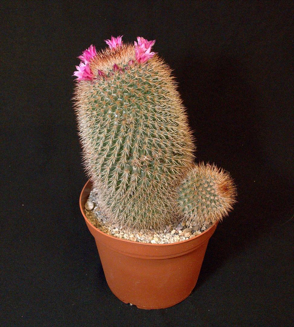 SCCSS 2020 January - Winner Novice Cactus - Jim Tanner - Mammillaria spinosissima